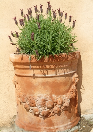 topped: lavender in terracotta pot, Tuscany, Italy, Europe Stock Photo