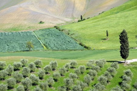 hilly: hilly green tuscan landscape in spring with cypresses and olive trees, Tuscany, Italy, Europe