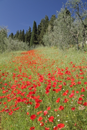 fantastic tuscan landscape with poppies, Italy, Europe photo