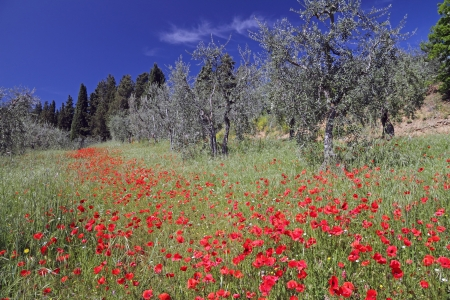 spring tuscan landscape with poppies and olive trees, Italy, Europe