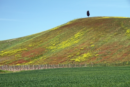 tuscan hill with cypress and flowery meadow in spring, Italy, Europe