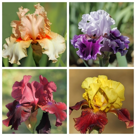 bearded: multicolor bearded iris set, images from Garden of Iris in Florence, Tuscany, Italy, Europe