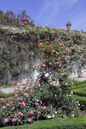 roses in classic italian garden, Boboli, Florence, Tuscany, Italy, Europe photo