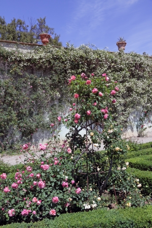 ornamental shrub: roses in classic italian garden, Boboli, Florence, Tuscany, Italy, Europe Stock Photo