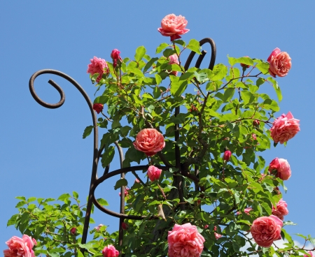 ornamental shrub: pink climbing rose isolated on sky, Boboli Garden in Florence, Italy, Europe