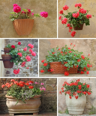 pelargonium: collage with geranium flowers in rustic terracotta pots, images from Tuscany, Italy, Europe