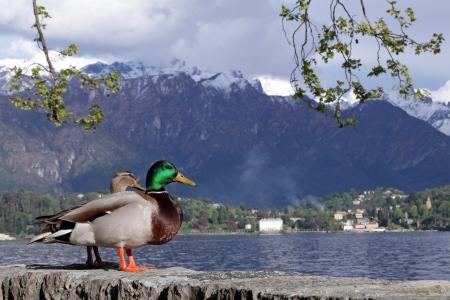 bellagio: landscape of lake Como with wild ducks