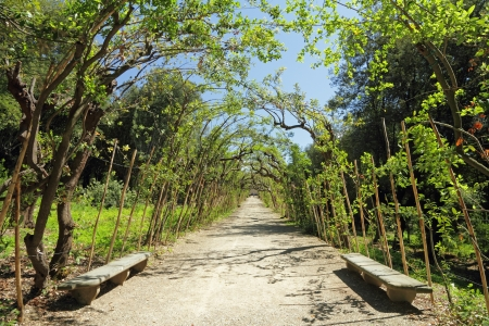 alley with bay laurel,evergreen tree, in historic Boboli Gardens in Florence, Tuscany, Italy, Europe Stock Photo - 16239665