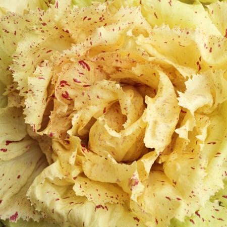 endivia: Radicchio di Castelfranco IGP Variegato con hoja típica crema amarillento con manchas rojas, variedad de achicoria italiana .. A veces llamado rosa de invierno, debido a su forma y color inusual Foto de archivo