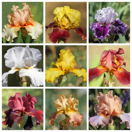 bearded iris: multicolor bearded iris collection, images from Garden of Iris in Florence, Tuscany, Italy, Europe