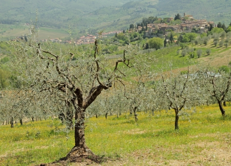 grooves: beautiful tuscan landscape with olive tree fields and with medieval village Montefioralle in Chianti , Greve,Italy, Europe