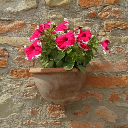purple - white petunia flowers in pot on brick wall in Italy , Europe photo