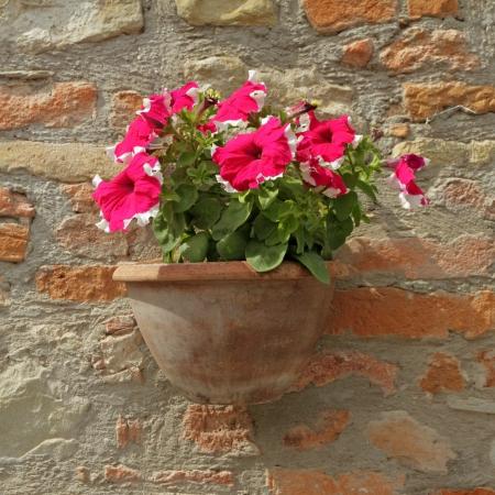petunia: purple - white petunia flowers in pot on brick wall in Italy , Europe