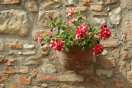 red and white flowering petunia in terracotta pot on stonewall, Italy, Europe photo