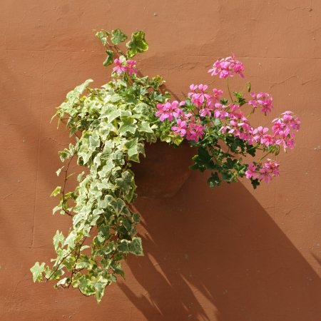 pink flowering  geranium and ivy in pot on stucco wall, Italy, Europe photo