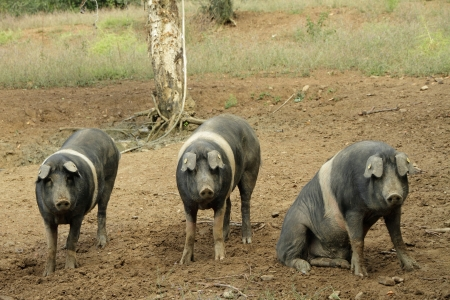 cinta: The Cinta senese, very ancient tuscan breed of pig Cinta means belt, black pigs with a white belt  Famous for  its excelent meat with the DOP classification, Italy, Europe Stock Photo