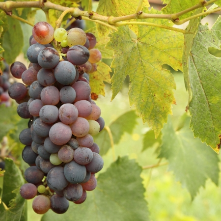merlot: hanging bunch of red wine grapes Stock Photo