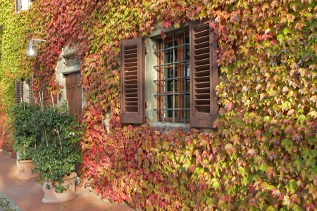 house covered with ivy in autumnal colors, Tuscany  photo