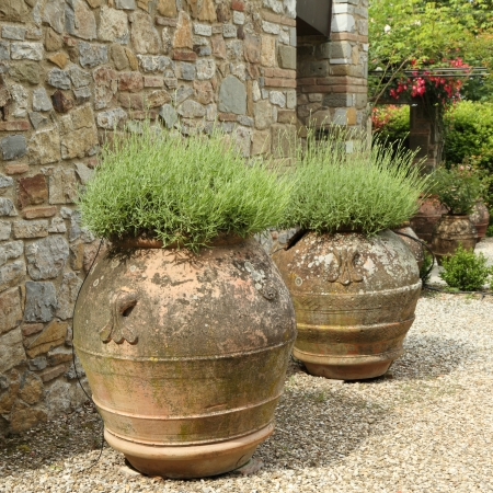 lavender plant in ceramic vases in tuscan garden  photo