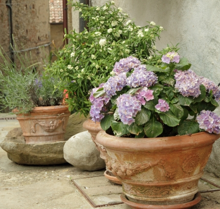 flowering hortensia and other plants  in terracotta  vases on tuscan courtyard