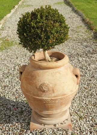 topiary: topiary boxwood bush in elegant ceramic vase