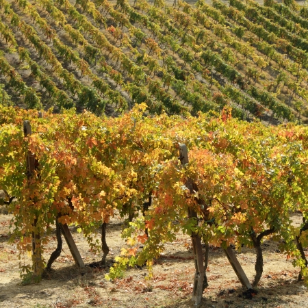 napa: golden  colors of autumnal vineyards in famous Chianti region in Tuscany, Italy Stock Photo
