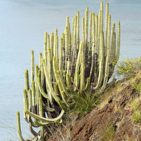 plants species: Isole Canarie Spurge - endemica delle isole Canarie succulente su una ripida scogliera sull'Oceano Atlantico, Tenerife