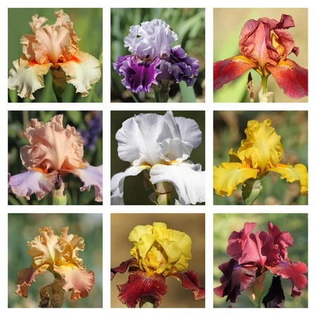 bearded iris: multicolor bearded iris collection, images from Garden of Iris in Florence
