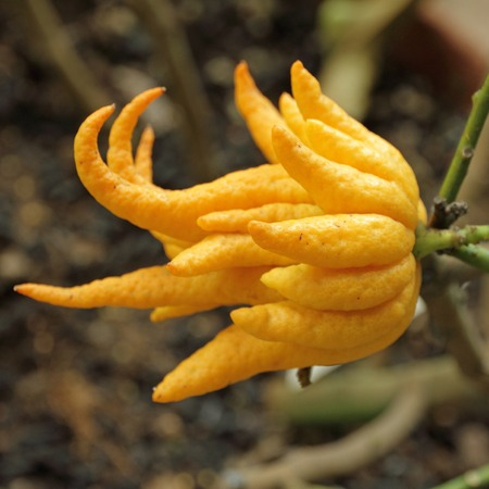 buddha hand: fragrant Buddha s hand or fingered citron fruit, Citrus medica - growing in Orangery of Boboli Garden in Florence, Italy