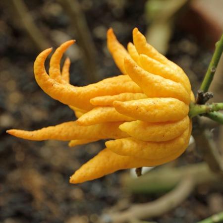 cidra: mano fragante Buddha s o dedos fruta lim�n, Citrus medica - creciendo en Invernadero de jard�n de Boboli en Florencia, Italia Foto de archivo
