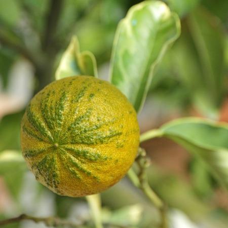 bitter orange: type of  Bitter orange   Citrus aurantium turcicum salicifolia   Stock Photo