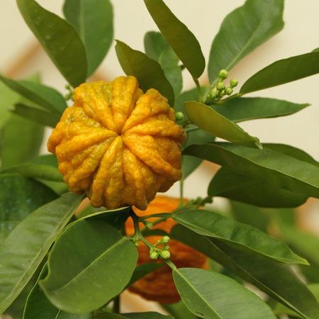Citrus aurantium canaliculata- type of bitter orange