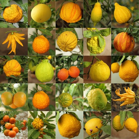 citrus collection as background, images from Limonaia   orangery   in Boboli Garden in Florence, Tuscany, Italy photo