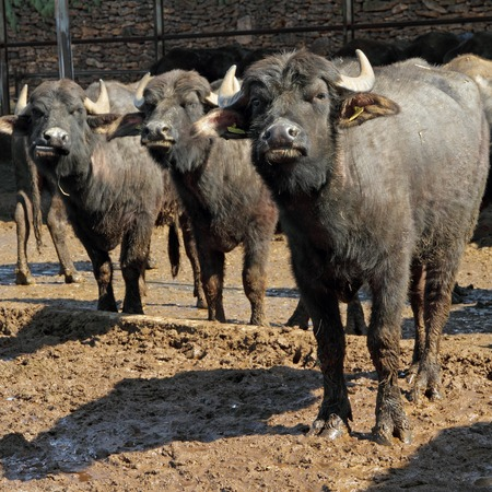Bufala mediterranea italiana     Mediterranea Italiana   type of water buffalo bred mainly  for production of  buffalo milk used  for mozzarella di bufala campana of Campania , farm in Paestum,Italy
