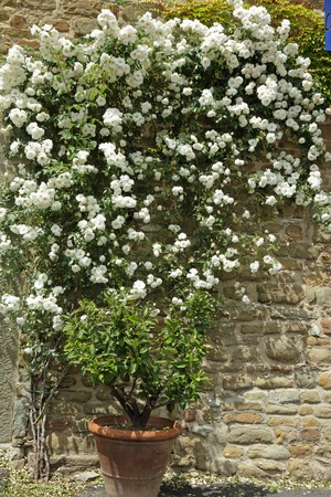 ornamental bush: flowering  white  garden rose creeper on antique stone wall, Tuscany,Italy  Stock Photo