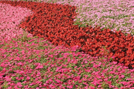 impatiens: impatiens and begonias flowerbed in chinese garden