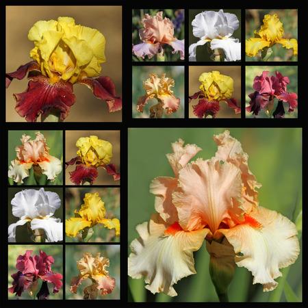 bearded iris: bearded iris flowers collage