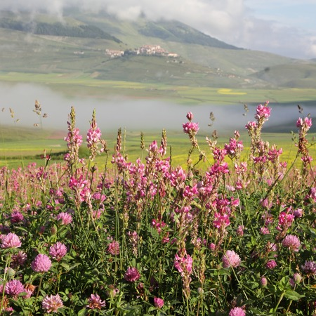 castelluccio di norcia: wildflowers in morning foggy scene, Castelluccio di Norcia village at the background,Italy, Europe