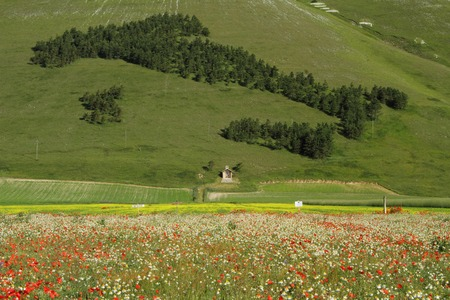 sibillini: forest in shape of Italy and field of poppies in National Park of Sibillini Mountains,Castelluccio di Norcia, Piano Grande, central Italy, Europe