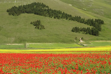 forest in shape of Italy and field of poppies in National Park of Sibillini Mountains,Castelluccio di Norcia, Piano Grande, central Italy, Europe photo