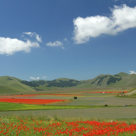 sibillini: poppies meadow  over  Piano Grande (Great Plain) large plateau in the Sibillini  mountains, famous for spectacular flowering of wildflowers in summer