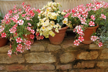 petunias and begonias flowers in pots on low brick wall, Umbria, Italy