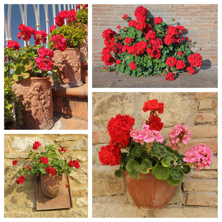 pelargonium: group of images with flowering red geranium plants in pots, Italy