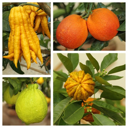 citrus aurantium: weird citrus collection - images from Boboli orangery in Florence, Tuscany, Italy Stock Photo