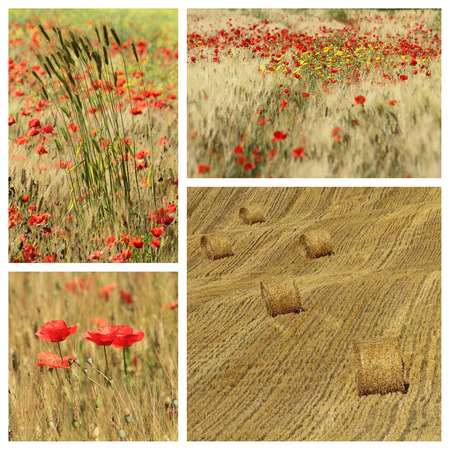 corn flower: idyllic images with poppies in tuscan countryside Stock Photo