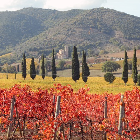 antimo: amazing  tuscan vineyards in autumnal colors , at horizon St. Antimo Abbey ,Castelnuovo dell