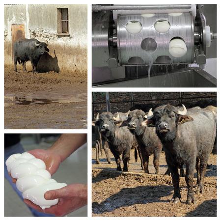 mediterranea: Buffalo mozzarella production on italian farm in Campania region Stock Photo