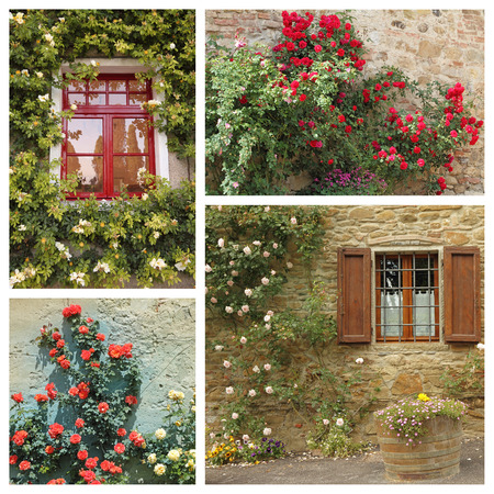 flowering plant: colorful flowering climbing roses on old wall - images from Tuscany, Italy, Europe