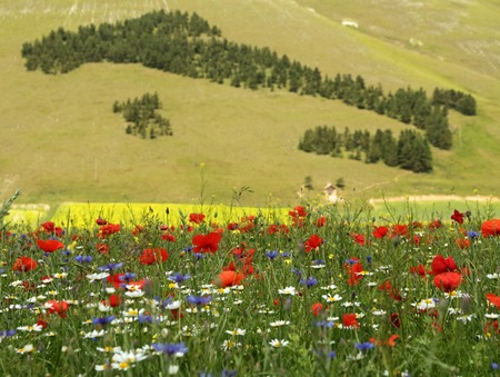 sibillini: field of wildflowers and forest in shape of Italy at the background, National Park of Sibillini Mountains,Piano Grande,Castelluccio di Norcia,  Italy, Europe