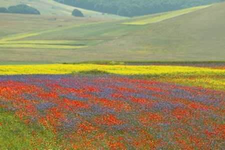 plateau of flowers: multicolor fields with wild flowers on Piano Grande  Great Plain - large plateau in the central Italian Apennine mountains